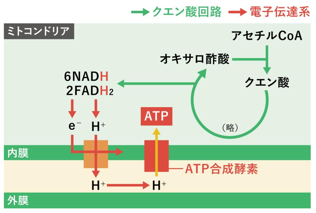 電子伝達系の代謝