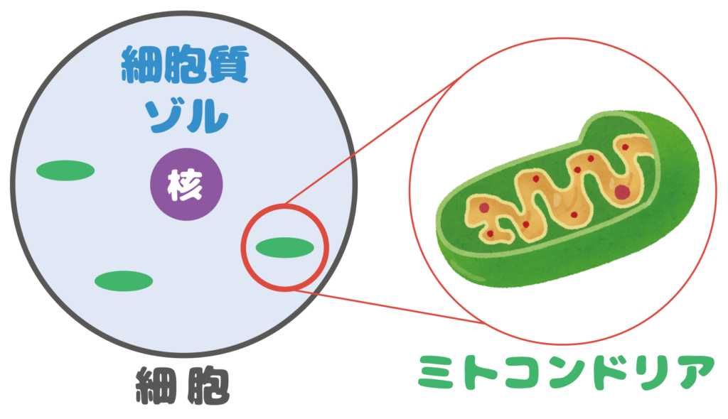 細胞質ゾルとミトコンドリア
