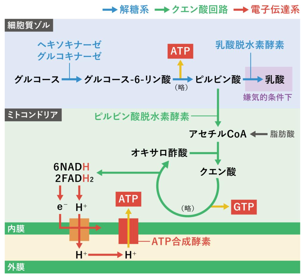 解糖系_クエン酸回路_電子伝達系