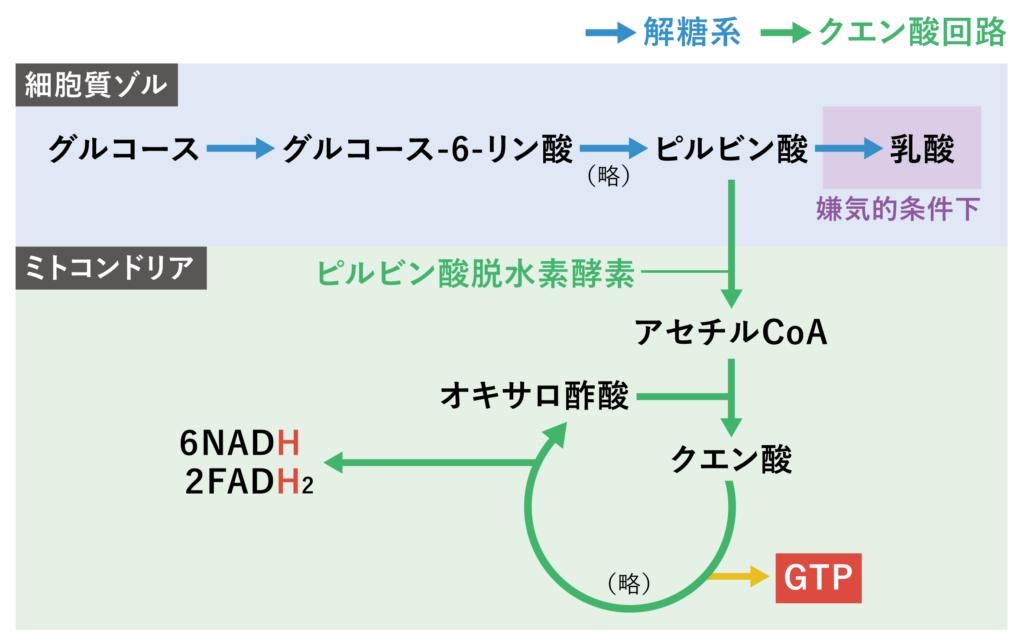 クエン酸回路の代謝