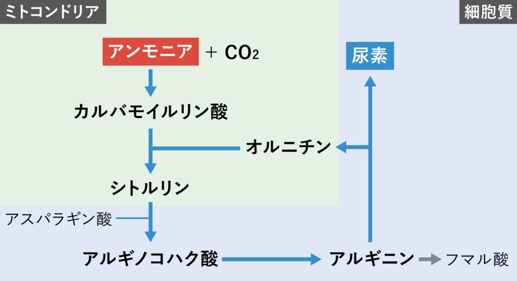 尿素回路の詳細