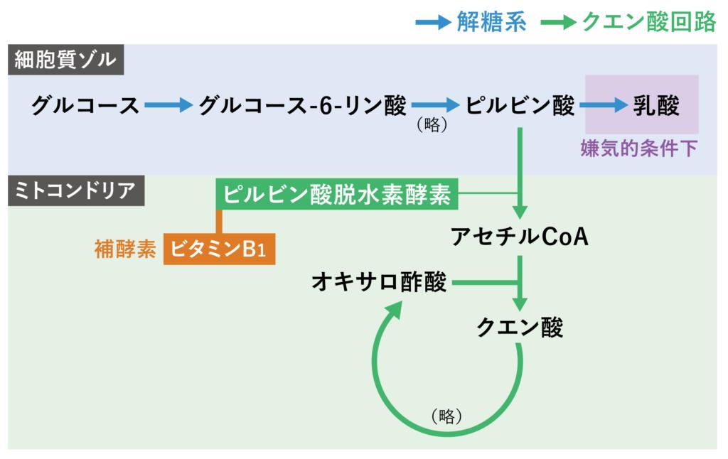 クエン酸回路とビタミンB1