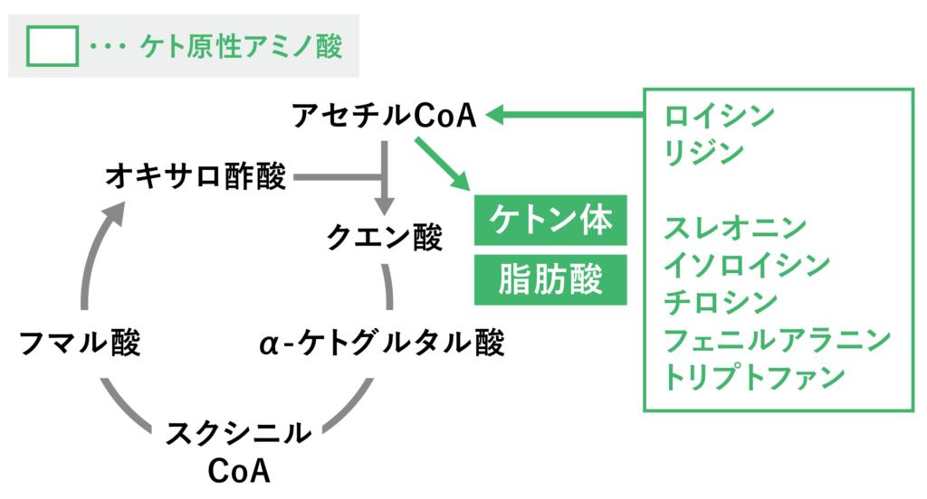 ケト原性アミノ酸の代謝