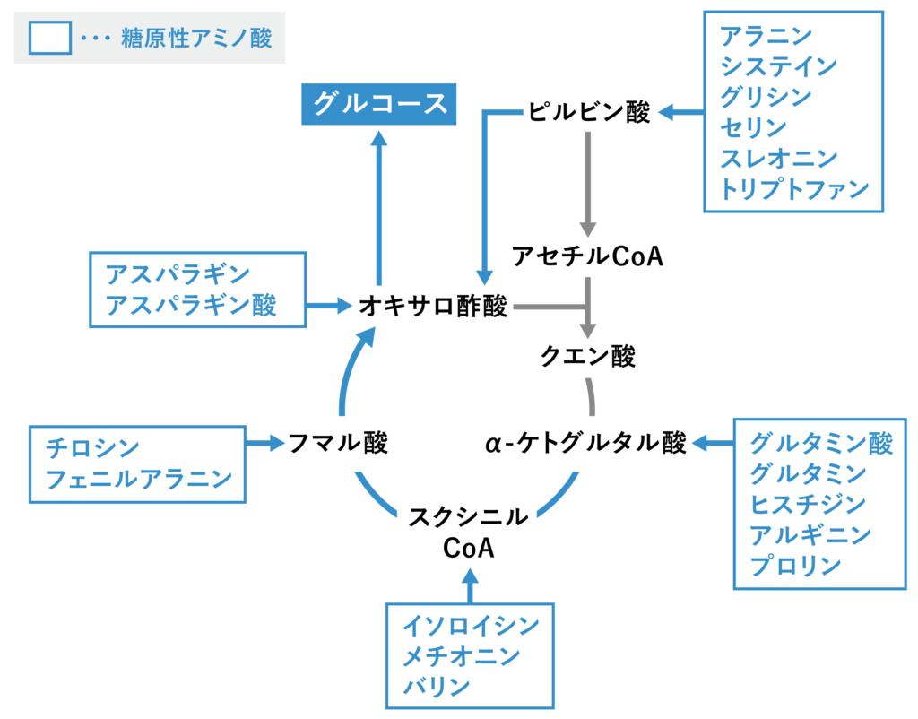 糖原性アミノ酸の代謝