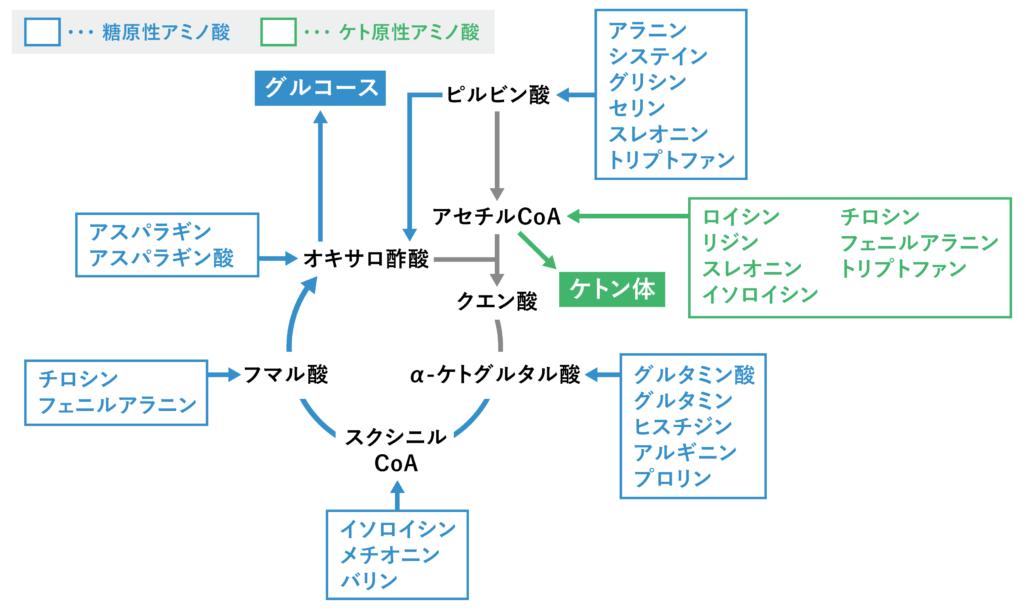 糖原性アミノ酸とケト原性アミノ酸の代謝